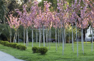 Черешневый сад в Сочи 2015
