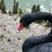 Чёрный лебедь в Сочинском Дендрарии