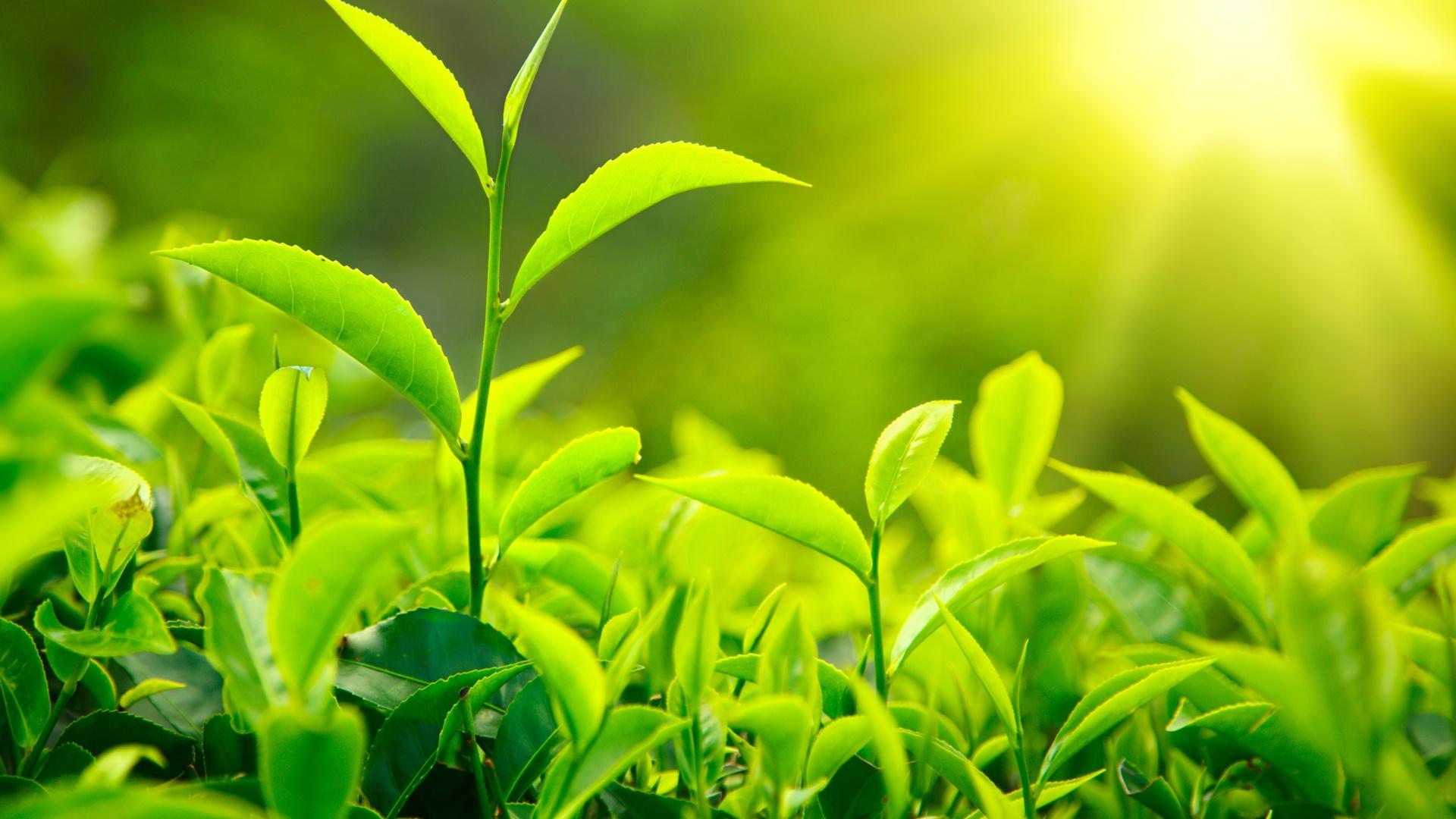 Самый северный чай в мире выращивают в Сочи