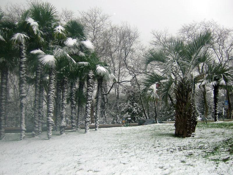 Зимой пальмы в Сочи нуждаются в периоде покоя. Их листья обычно связывают в пучок, чтобы снег не попал в крону, но зато когда этого не делают, получаются вот такие необычные фотографии :)