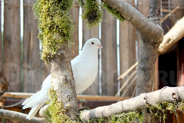 Одинокая голубка