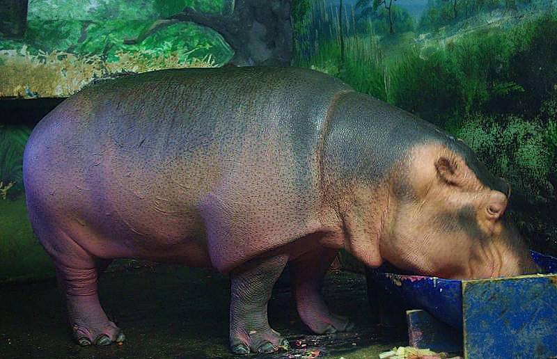 Бегемот Фрида хоть и считается очень молодой, но весит более тонны