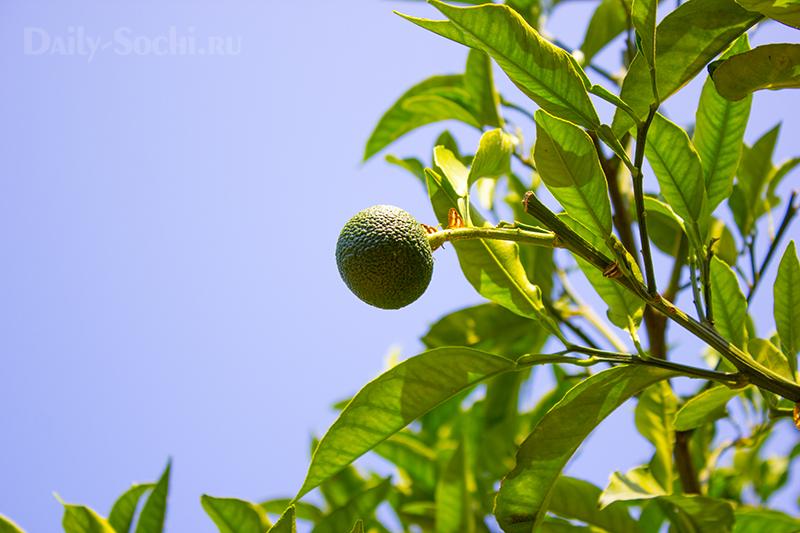 Плодоносящие деревья в саду-музее Дерево Дружбы в городе Сочи