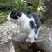 Бесхвостый кот в тисо-самшитовой роще