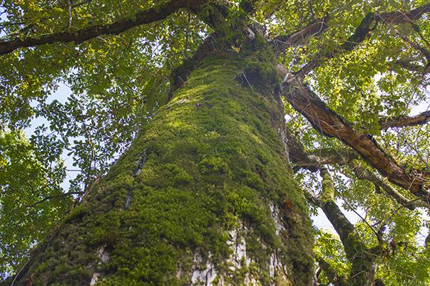 Исполинские деревья в тисо-самшитовой роще