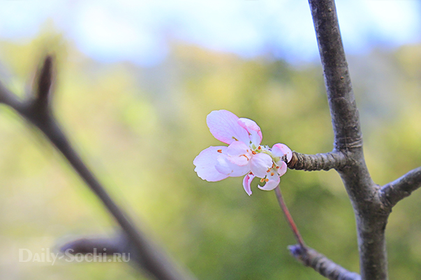 Цветущая яблоня в тисо-самшитовой роще