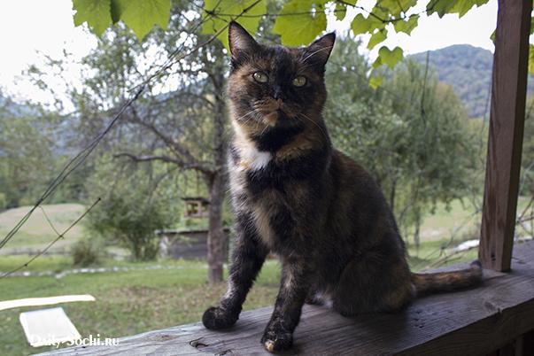 Трёхцветная кошка Армяночка
