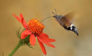 Бабочка семейства бражников