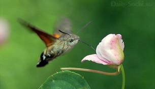 Языкан обыкновенный завис над цветоком