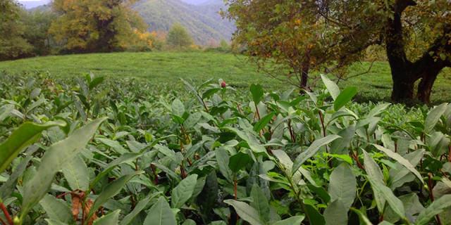 Чайная плантация Сочи
