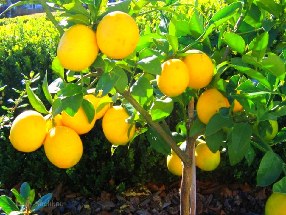 Абхазские лимоны