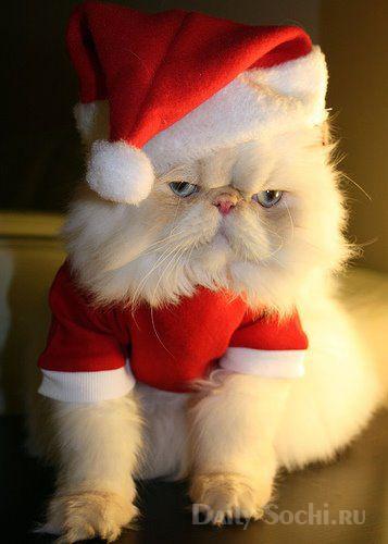 Кот Санта Клаус
