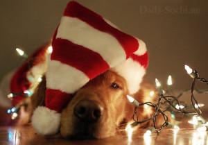 Можно сшить или купить новогодний колпак для собаки и сделать няшные фотографии своего питомца в праздничном антураже