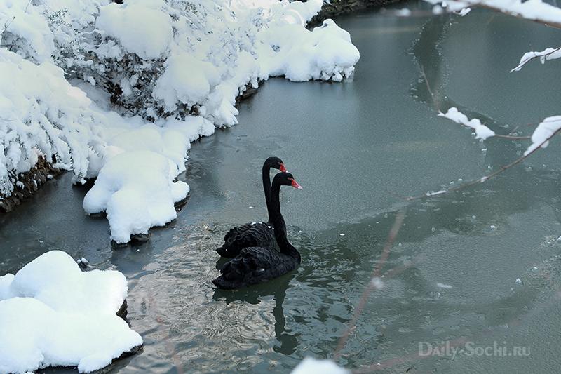 Пара чёрных лебедей в заснеженном пруду дендрария