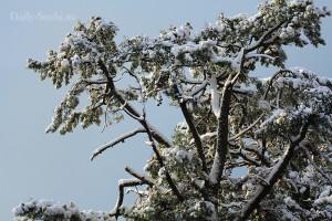 Многолетние деревья сочинского дендрария под пушистым белым снегом.