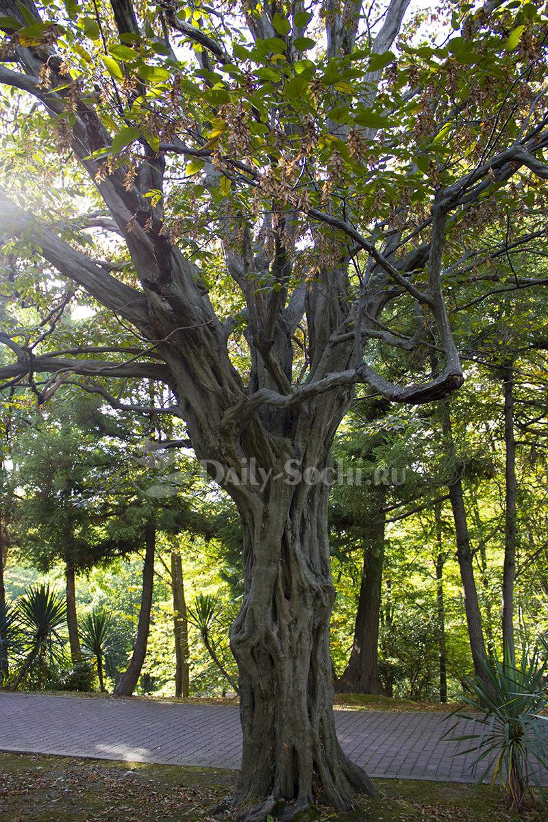 Деревья Сочи ФОТО