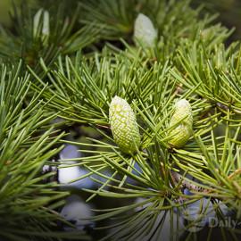 Хвойные деревья в Сочи