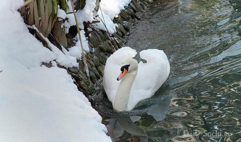 Лебедь высматривает под снегом корм, который мог остаться там с вечера.