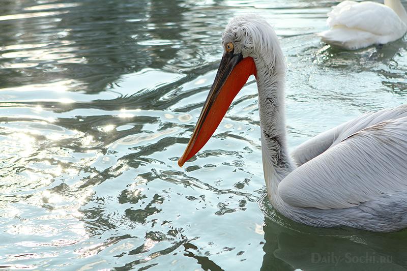 Пеликан в парке дендрарий в Сочи