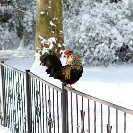 Петух в сочинском дендрарии зимой
