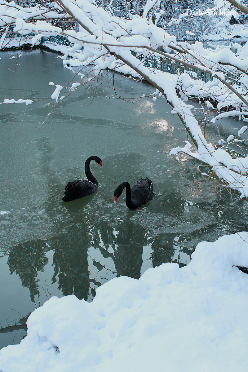 Лебеди исследуют утренний замёрзший пруд