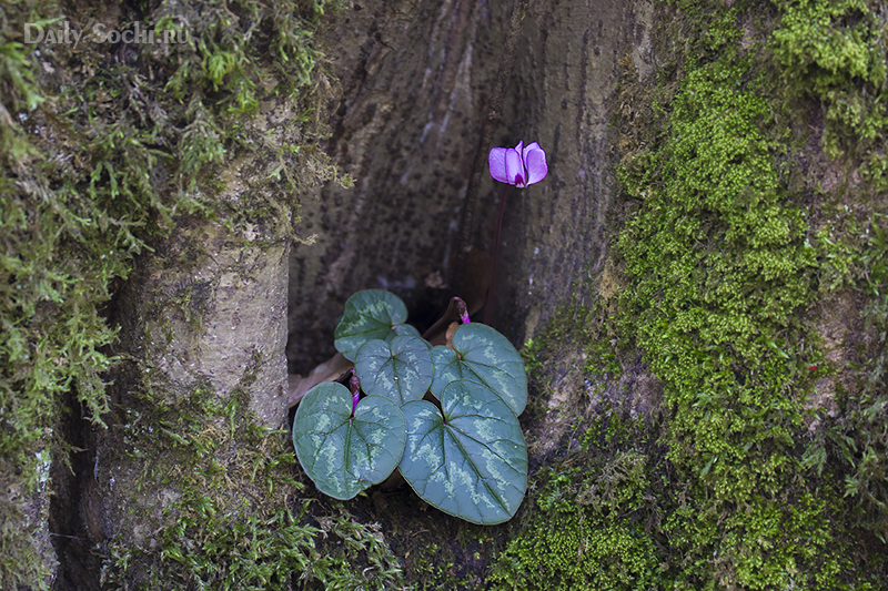 Цикламен в Сочи в мацестинском лесопарке