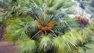 Пальмы, растущие в Сочи