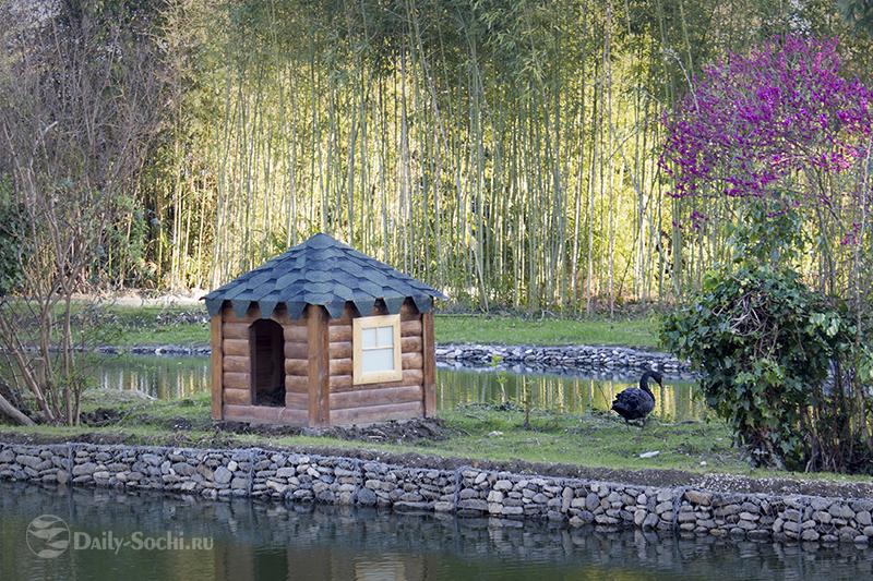 Чёрный лебедь возле домика
