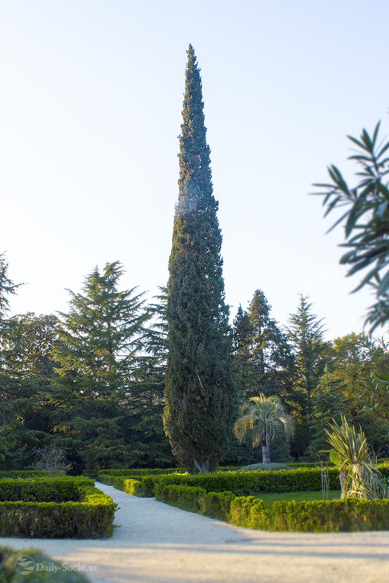Парк Южные культуры в Сочи. Дорожки с кустарниками из самшита. В середине композиции величественный платан.