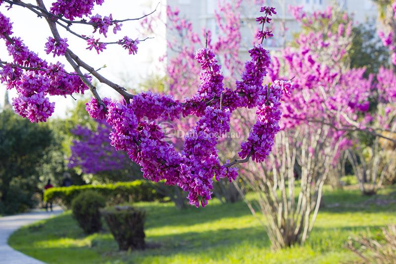 Цветы покрывают церсис полностью, они появляются даже на стволе.