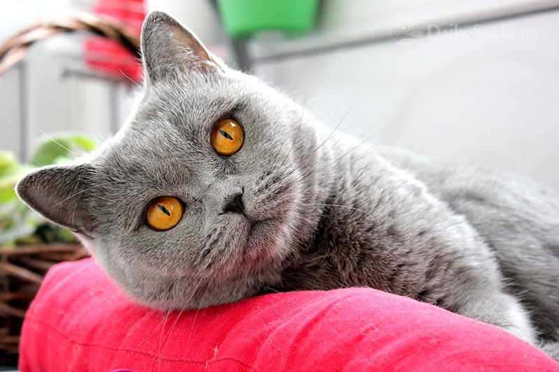 Британские кошки в Сочи являются самой популярной породой