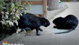 """Животные Сочи: семейство нутрий в парке """"Дендрарий"""""""
