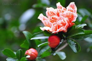 Фото гранатового цветка
