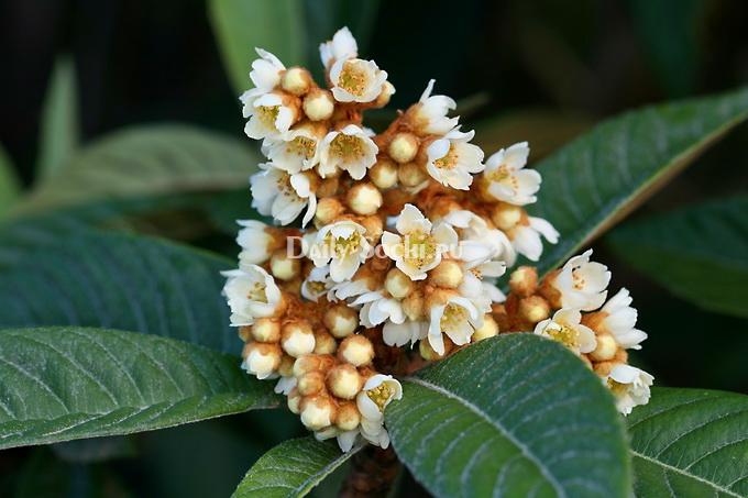 мушмула  цветение