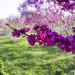 Кустарник церсис (багряник)