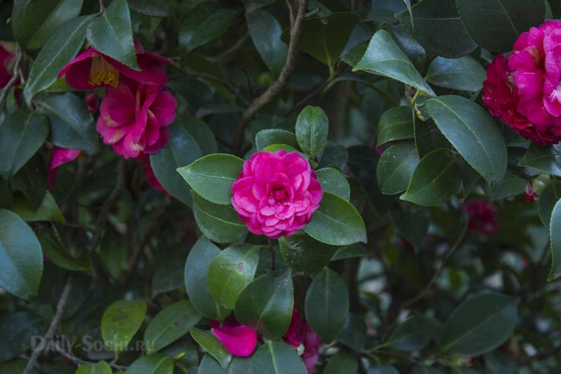 Кустарник камелия в цвету
