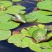 "Лягушки в пруду ""Чёрное море"" загорают на листьях кувшинки"