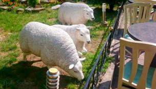 Возле ресторана посетителей встречает небольшое стадо белоснежных овец