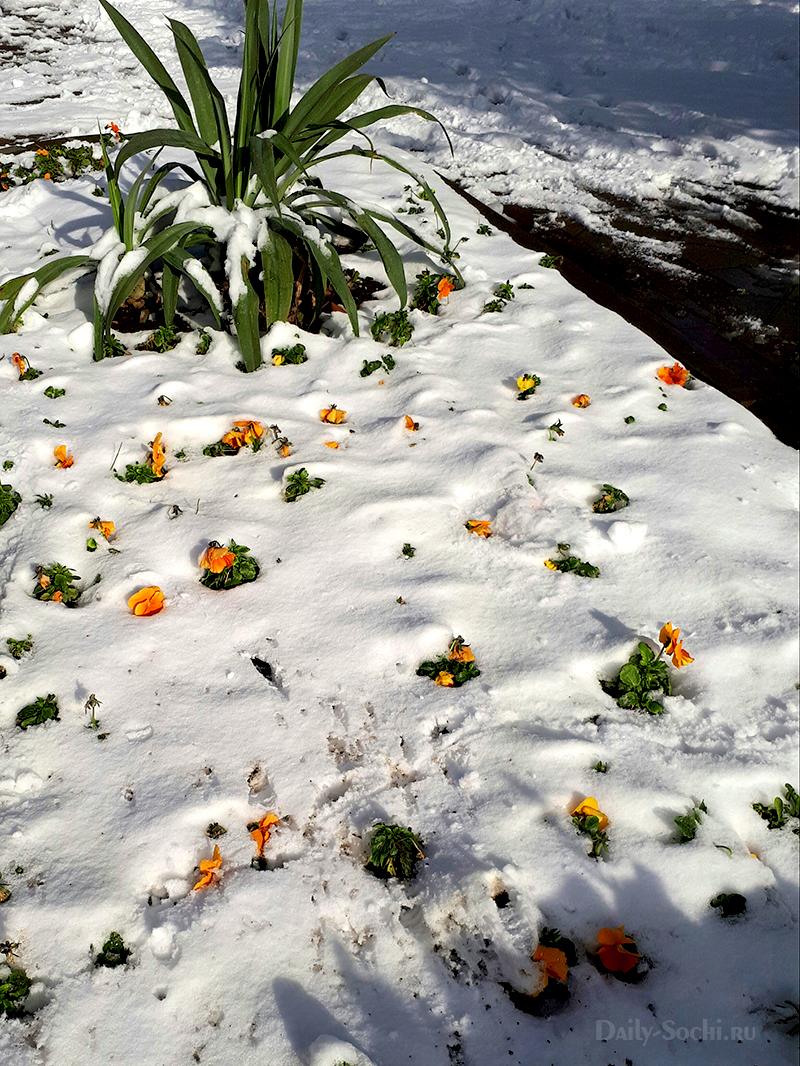 Анютины глазки в снегу