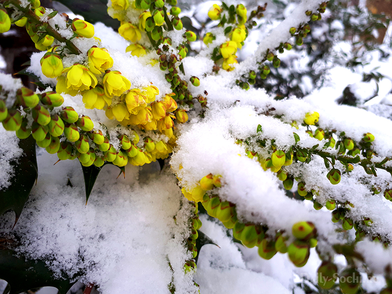 Кустарник в цвету укрылся в снегу