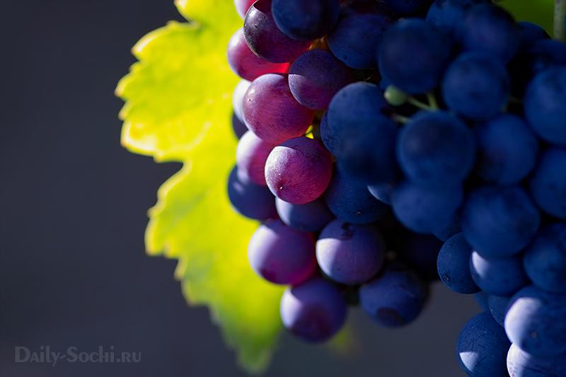 Особой любовью и популярностью пользуется сорт винограда Изабелла.